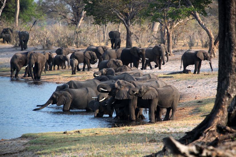 Namibie, groupe d'éléphants s'abreuvant dans le parc de Bwabwata dans la bande de Caprivi