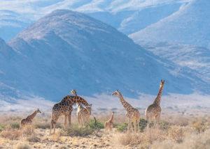 Namibie, Damaraland : groupe de girafes dans les reliefs montagneux
