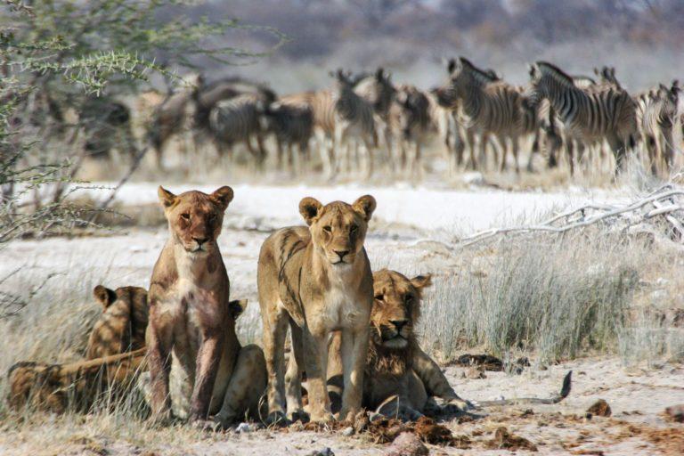 Botswana, à l'ombre d'un arbre, une famille de lions observent le photographe;  en arrière plan un groupe de zèbres attend.