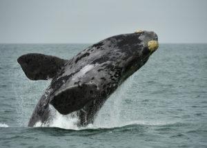Namibien, Walvis Bay, saut d'une baleine franche australe
