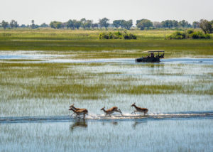 Botswana, 4x4 accompagnant un petit groupe d'antilopes cob Lechwee dans une plaine inondée
