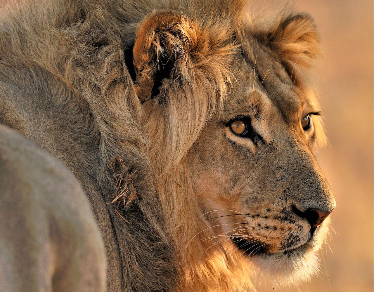 Botswana, parc trans-frontalier de Kgalagadi, lion mâle marchant dans le désert du Kalahari