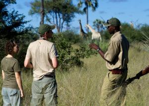 Botswana, guide armé accompagnant un couple pour une marche avec au loin des giraffes