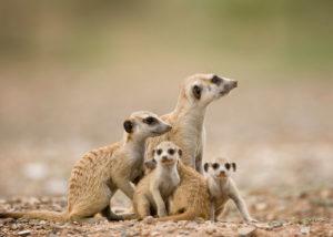 Namibie, Keetmanshoop, famille de suricates
