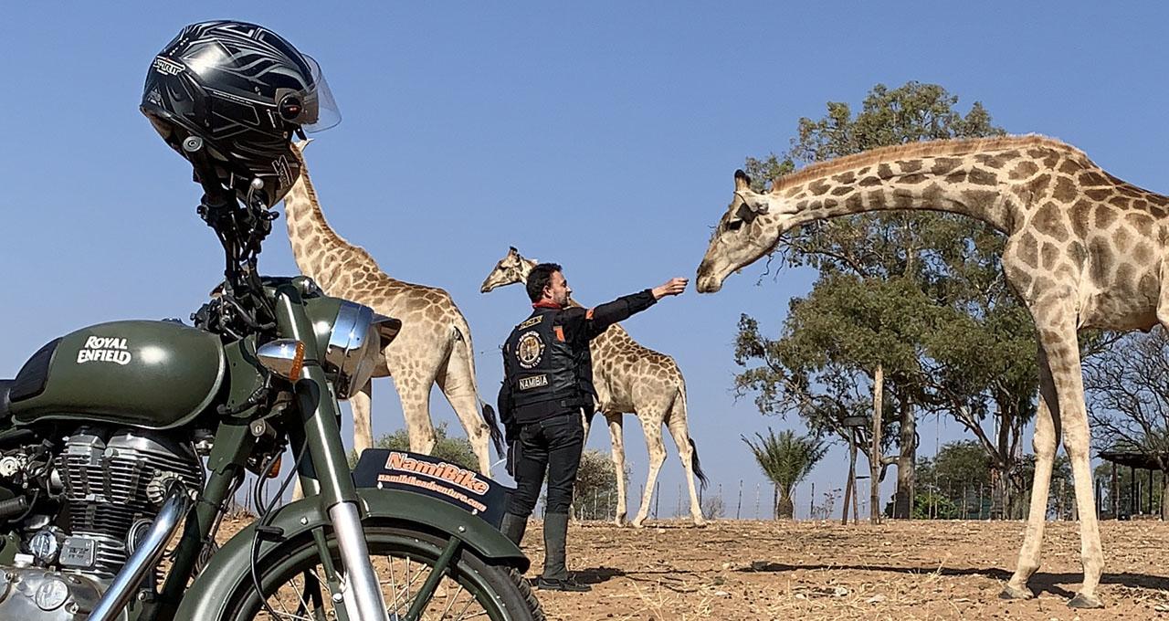 Namibie, une girafe baisse la tête en direction de la main tendue du pilote d'une moto vintage Royal Enfield. À proximité, deux autres girafes s'éloignent