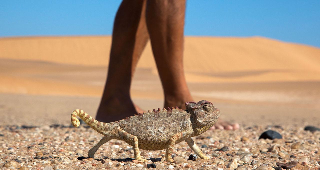 Namibie, Swakopmund : un caméléon progresse sur le désert de gravier