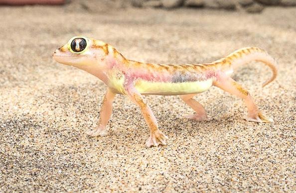 Gecko Namibie