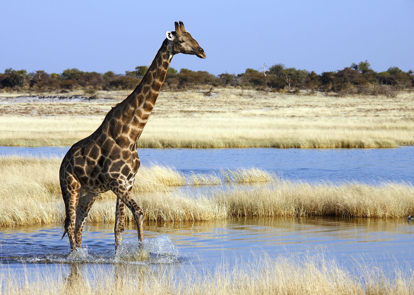 Namibie girafe parc national d'Etosha