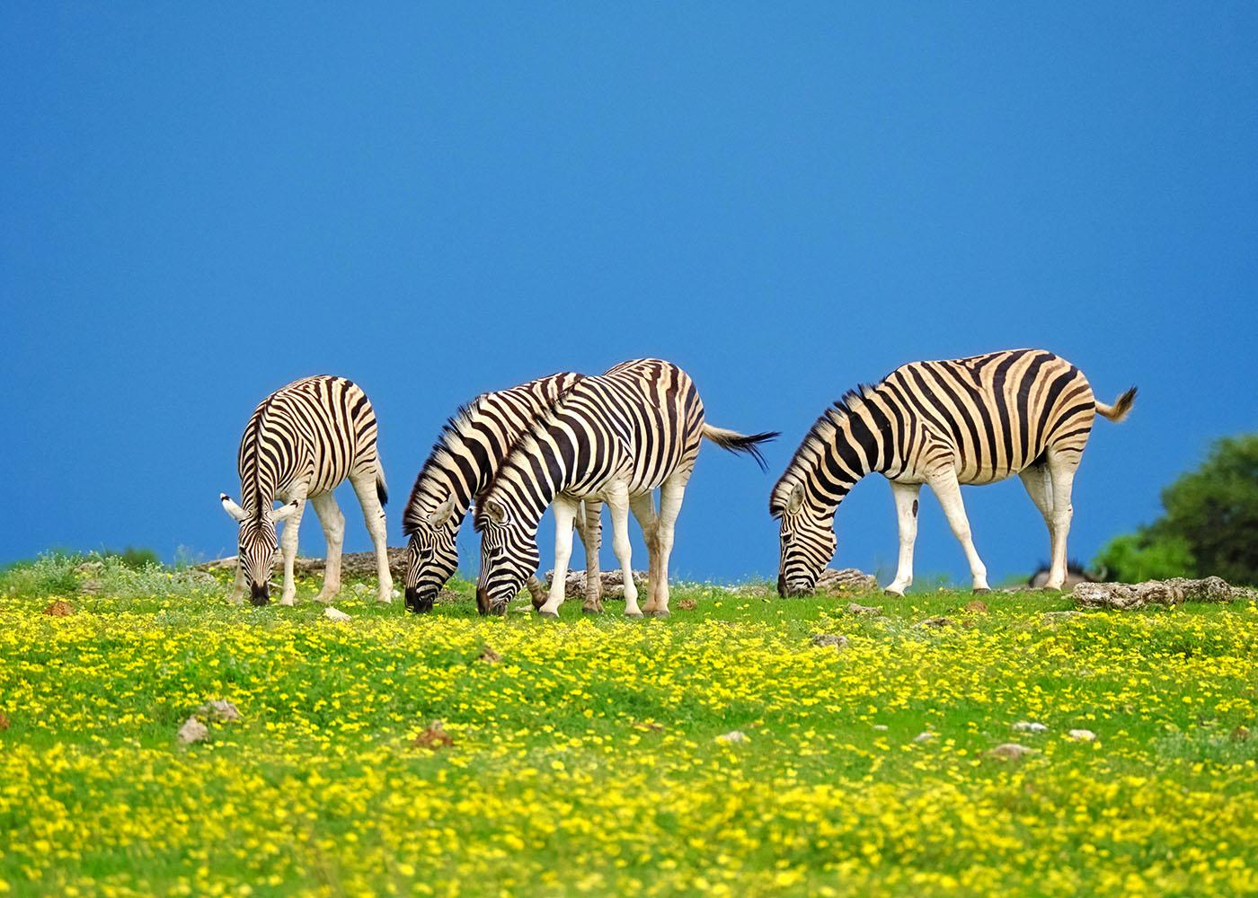Namibie, zèbres qui broutent