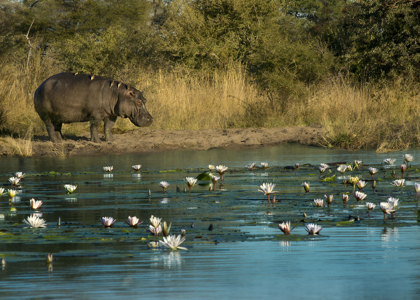 Namibie, hippopotame, bande de Caprivi